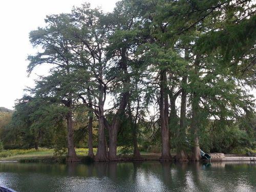 Beautiful cypress trees along the river