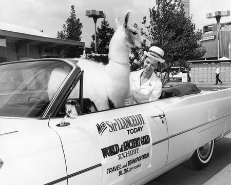 "Sir Lancelot, a white llama, promoting ""World of Ancient Gold"" exhibition at the 1964 World's Fair, John and Nora Wise Papers"