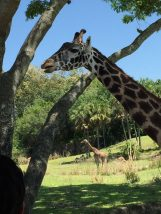 Andi went on a safari at Disney World and hung out with giraffes!