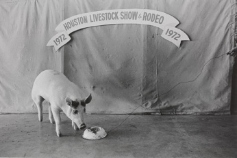 Geoff Winningham , Champion Pig Feeding, Houston Livestock Show and Rodeo, negative 1972, print 1976, gelatin silver print,Dallas Museum of Art, gift of Prestonwood National Bank 1981.36.15