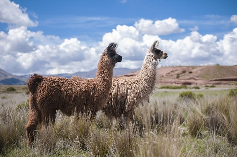 South American camelids at the archaeological site of Tiahuanaco, Bolivia