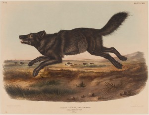 "John James Audubon, ""Canis Lupus (Black America Wolf),"" 1848, hand-colored lithograph, Dallas Museum of Art, Dallas Art Association Purchase, 1949.59"